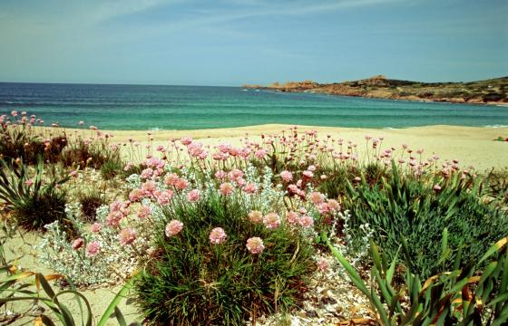 Armeria pungens sulla spiaggia di Badesi