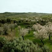 Mandorli in fiore ai piedi della Giara di Siddi
