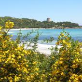 Pianta di ginestre e, sullo sfondo, la spiaggia e la torre di Cala Pira