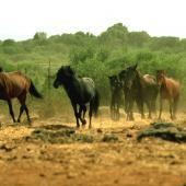 Cavallini della Giara al galoppo