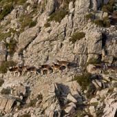 Monte Ferru, esemplari di mufloni
