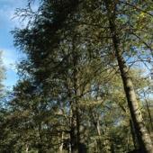 foresta di monte pisanu